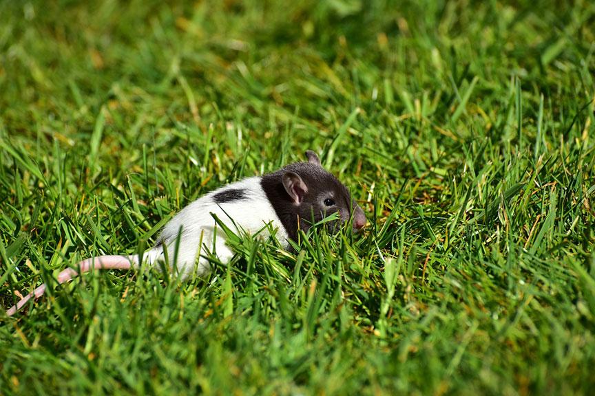 rat-in-grass