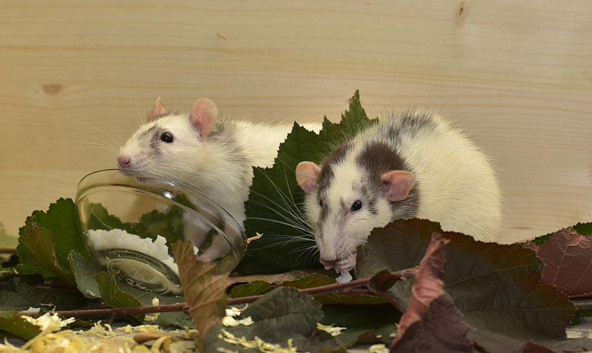 two-rats-eating-on-leaves