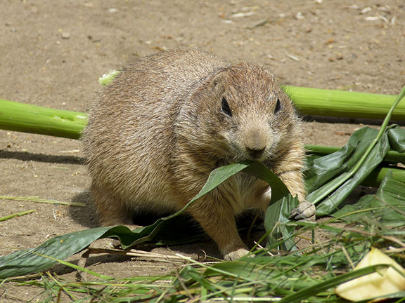 gopher-eating-leaf