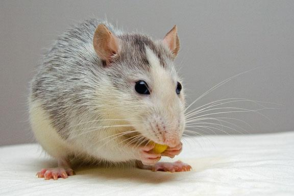 rat-eating-peanut