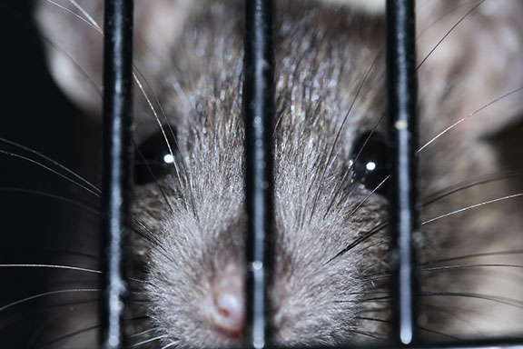 rat-in-cage