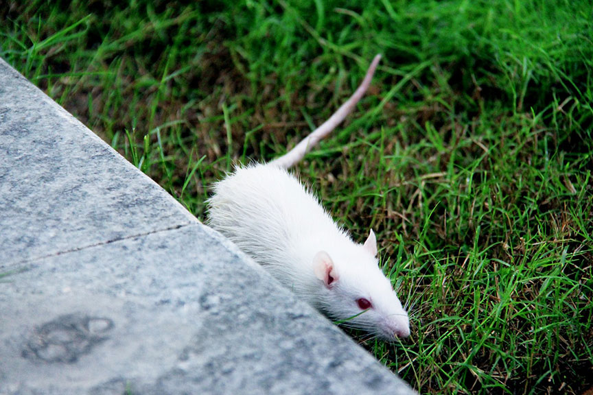 white-rat-on-grass