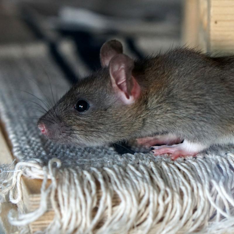 Rat infestation can be a huge problem