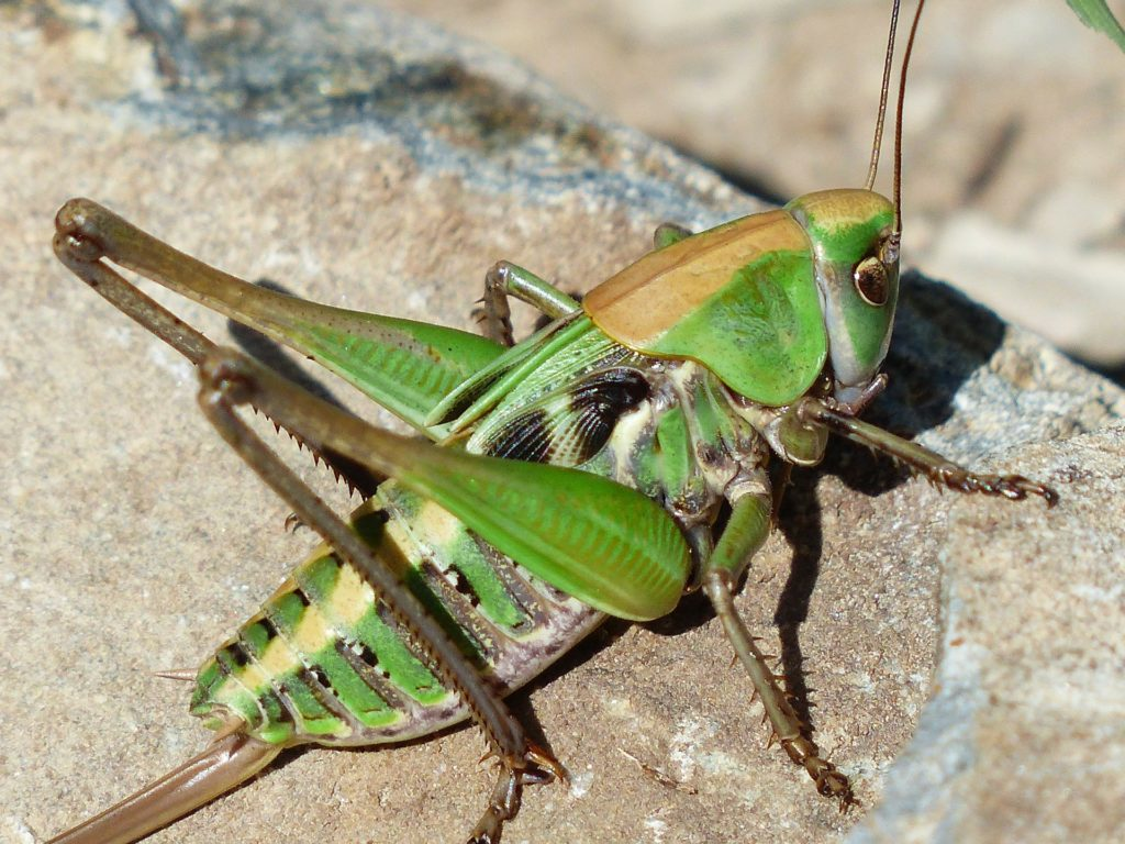 Grasshopper edible insect