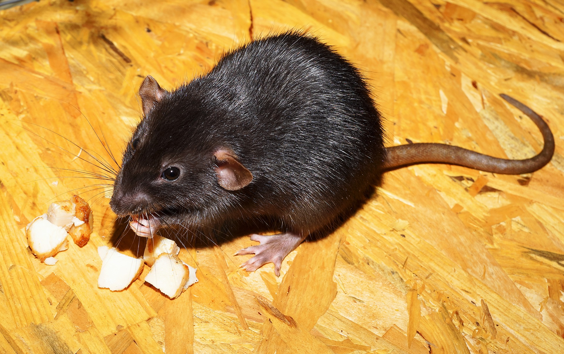 Rats Are Pests In Your New Home