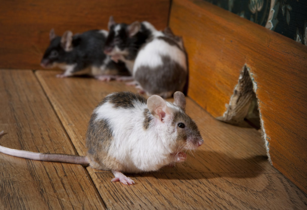 house mice infestations