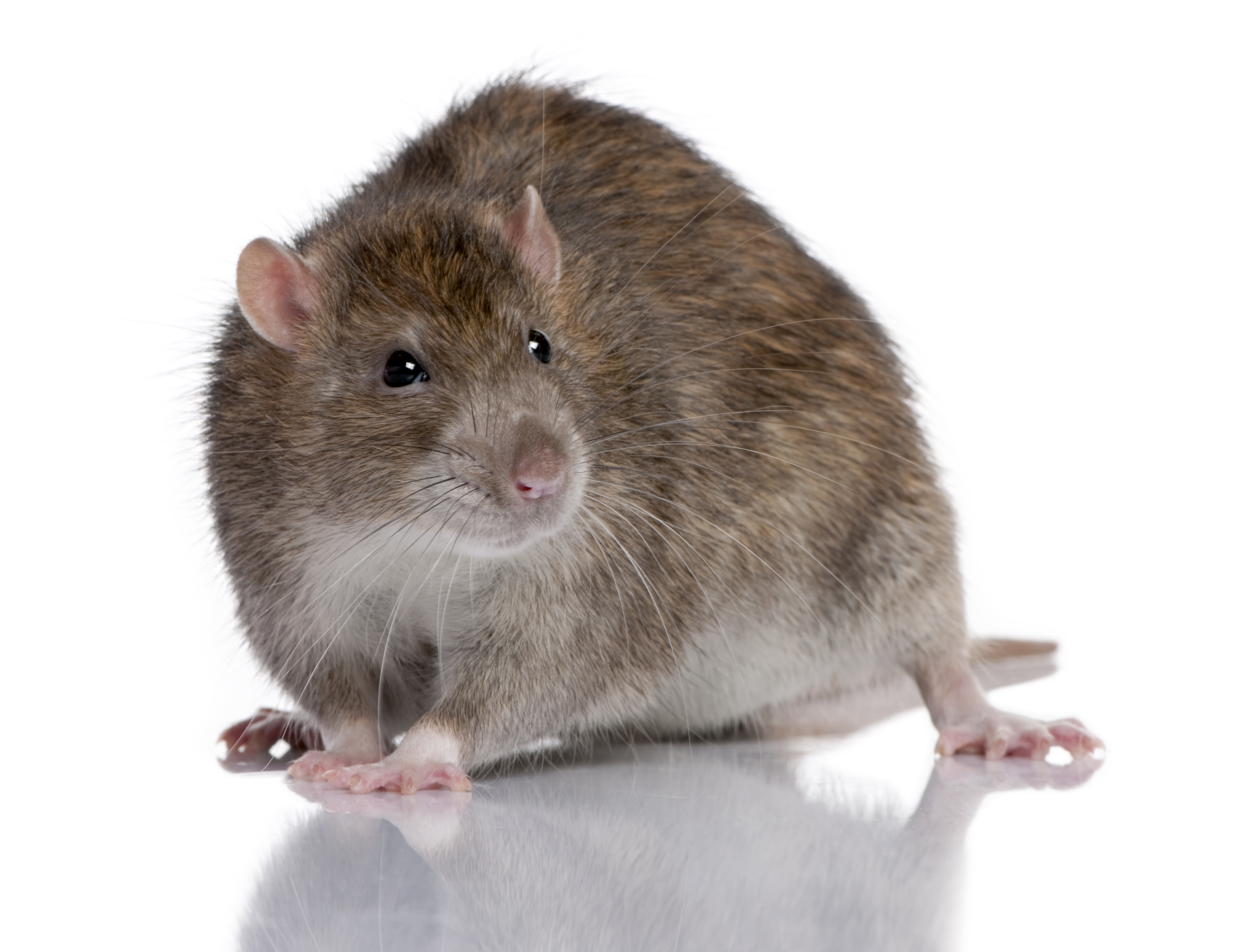 type of rat infestation norway rat