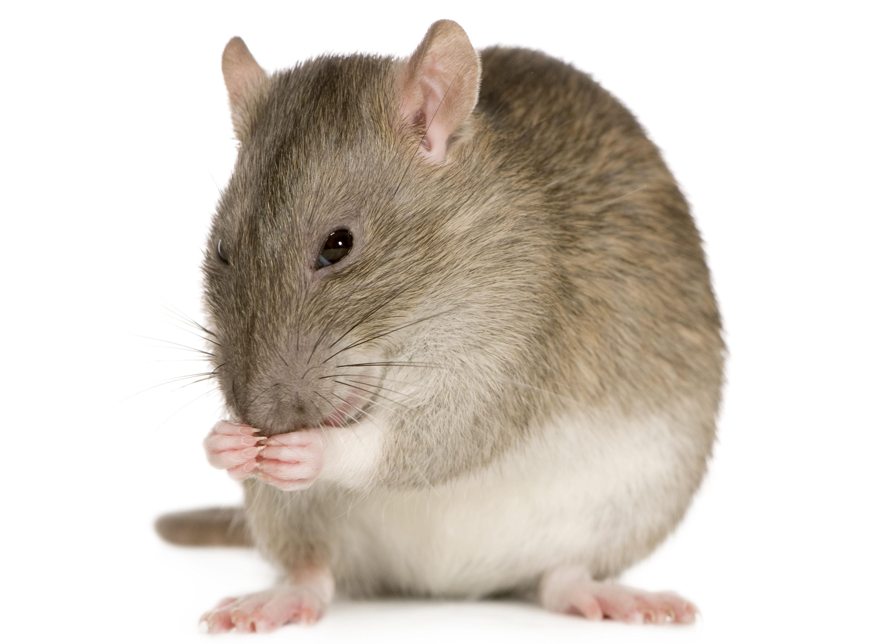 Rat health hazards