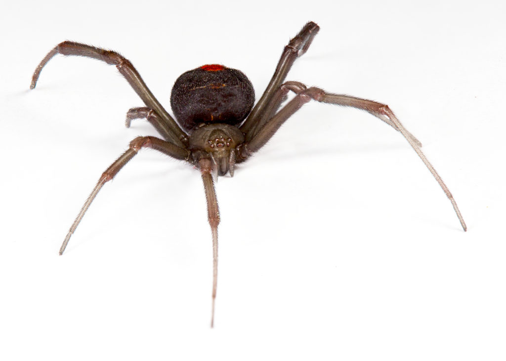 black widow dangerous pests