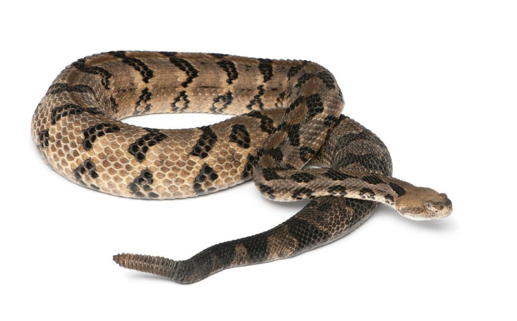 rattlesnake dangerous pests