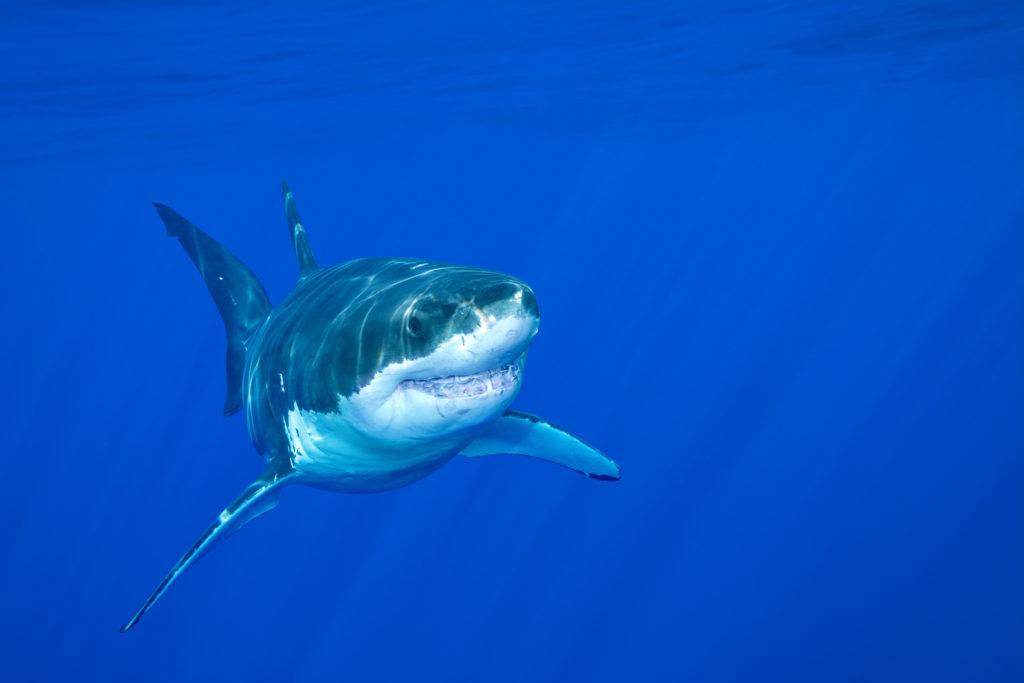 Shark dangerous pests