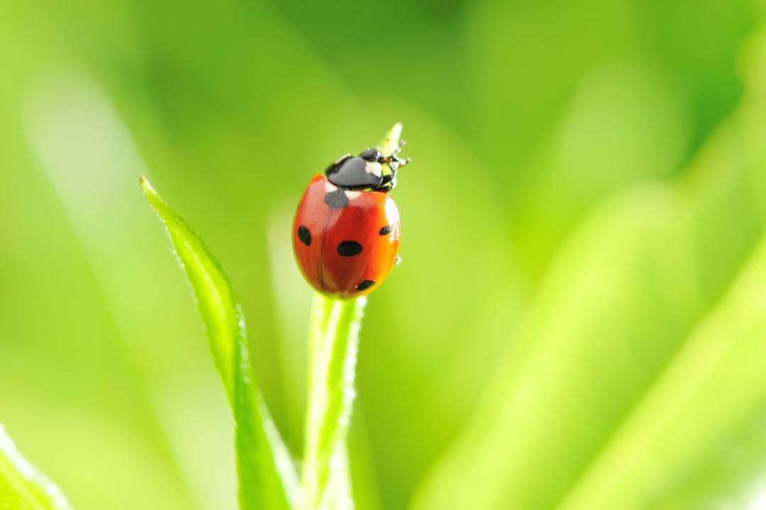 ladybug good bugs