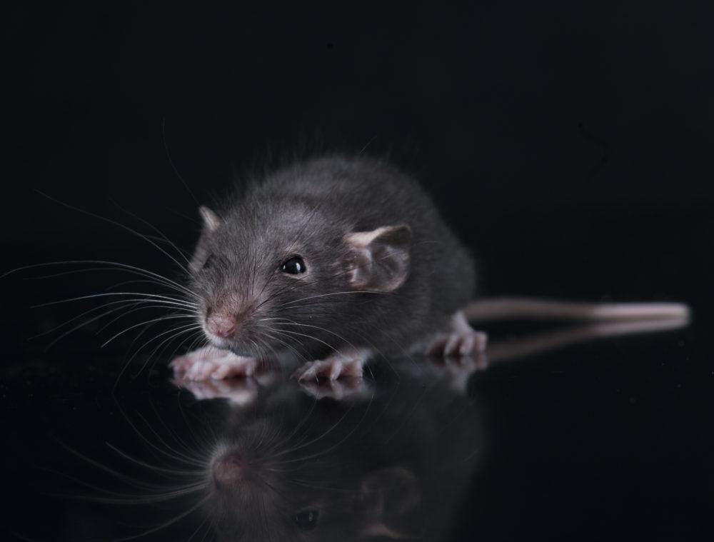 black rat infestation