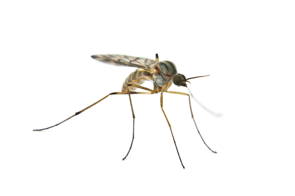 mosquito pest of the month
