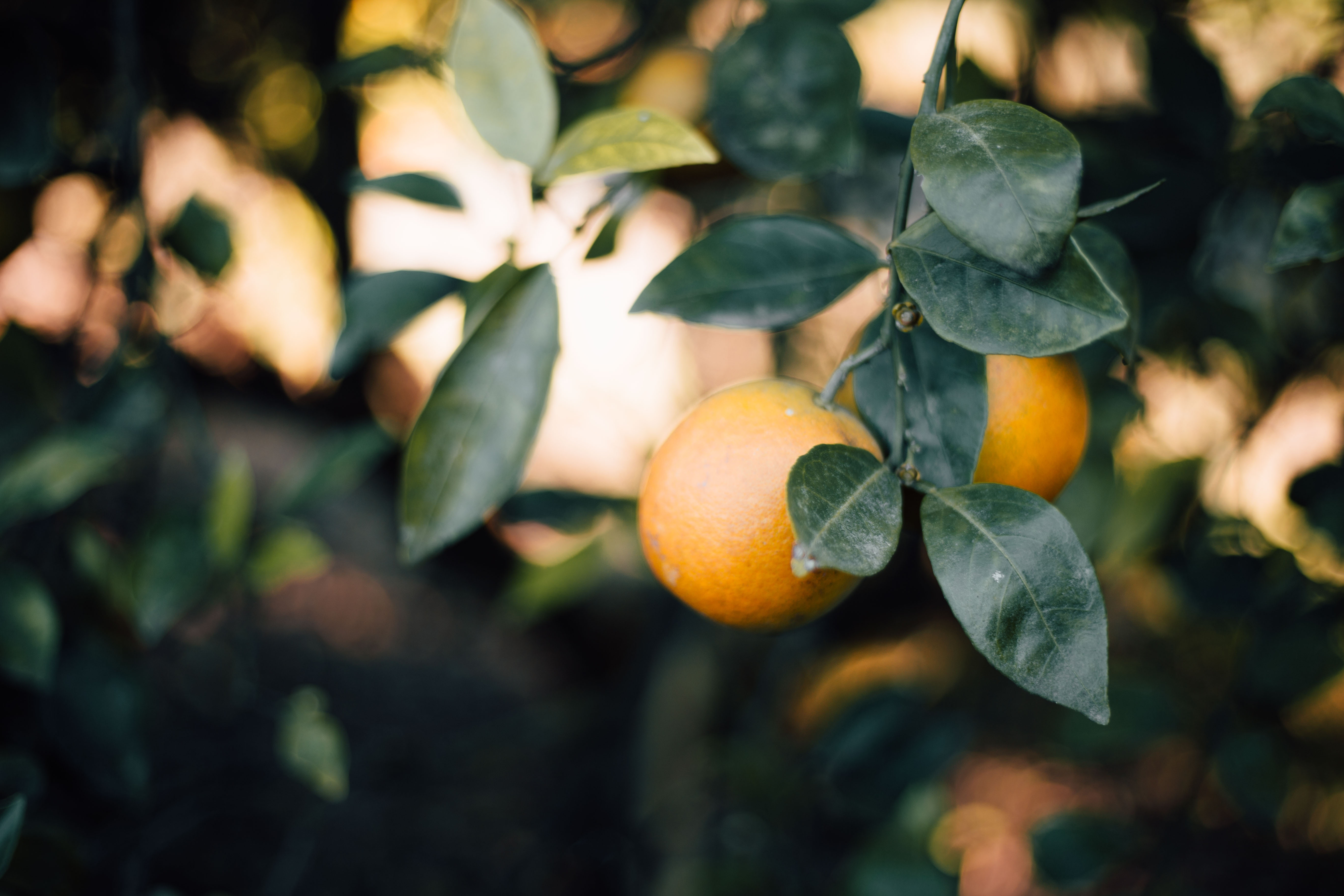 natural citrus still on tree