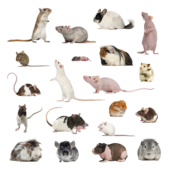 collection of rats and rodents