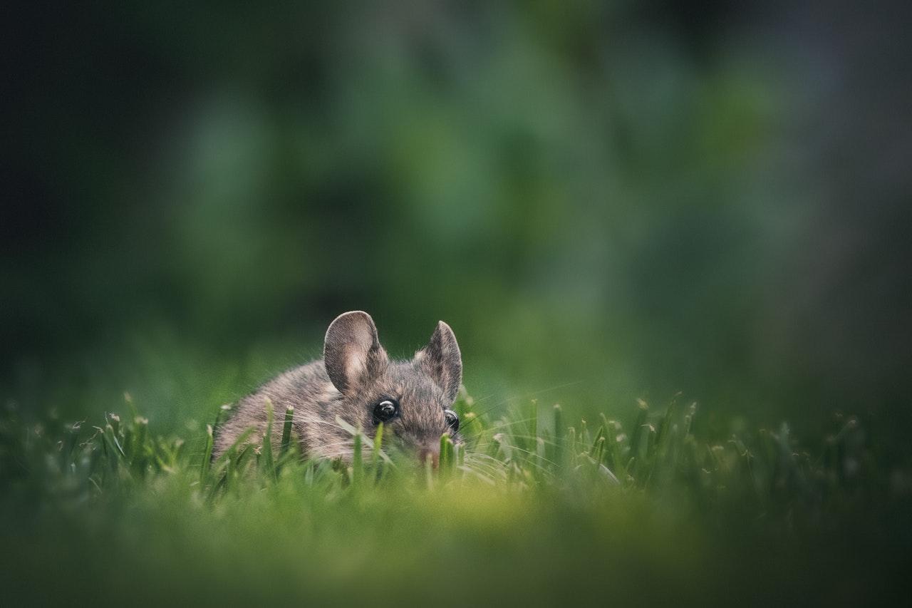 Rat in Outdoor Yard in Grass