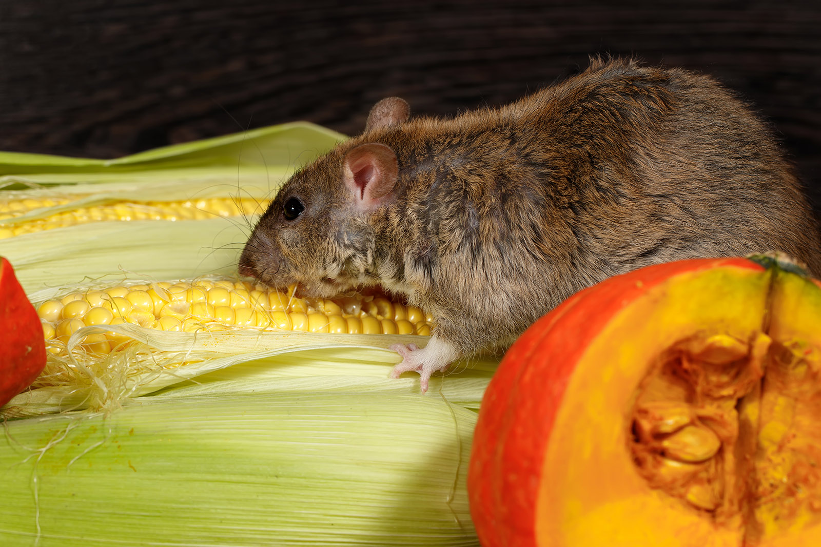 Close up of rat eating corn and pumpkin