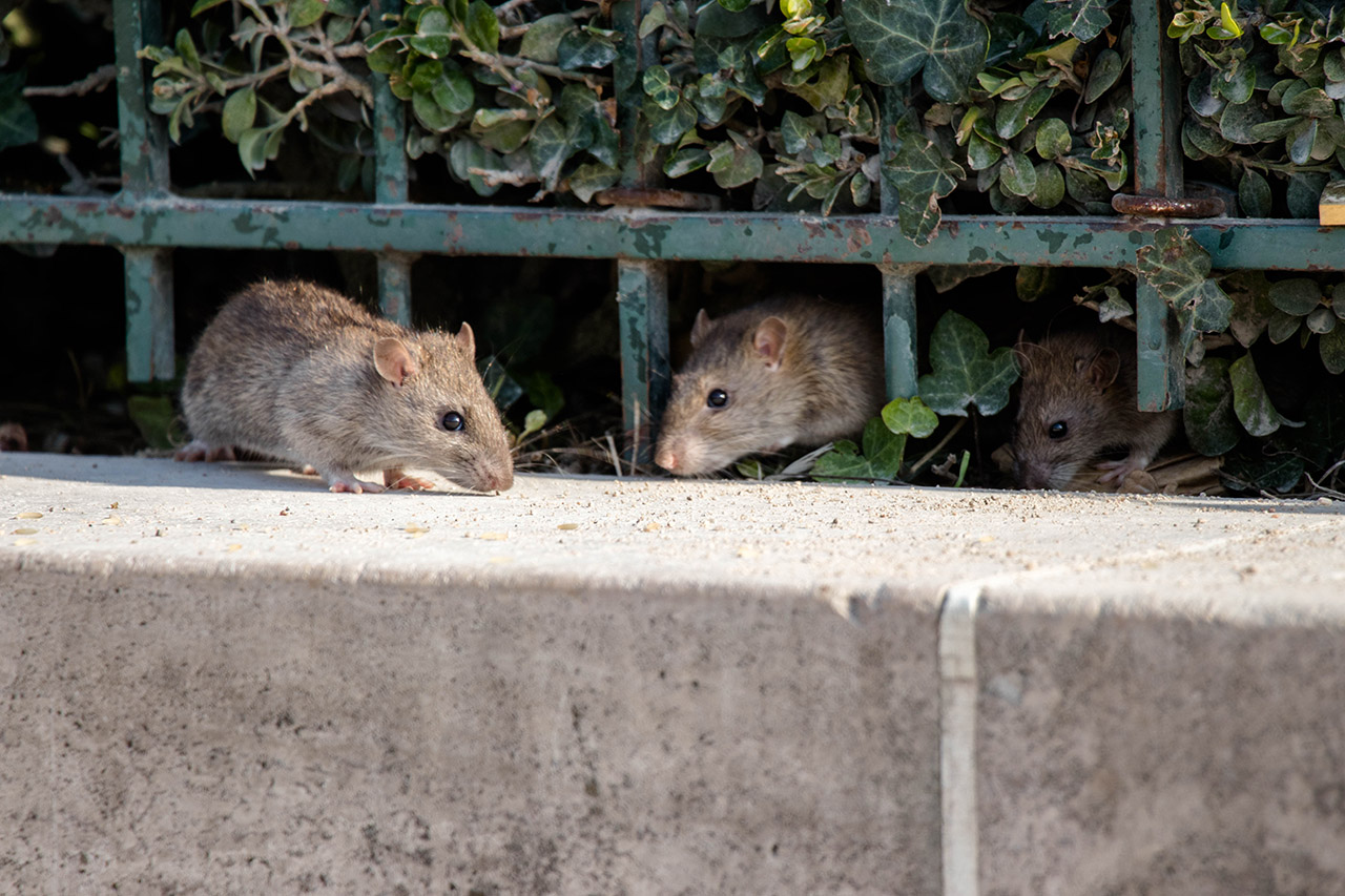 Three rats by a garden fence